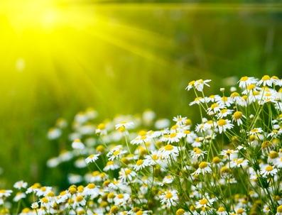 Rising sun above the beautiful camomiles